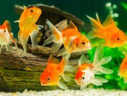 10 Jenis Ikan Hias yang Bisa Dipelihara oleh Anak di Rumah